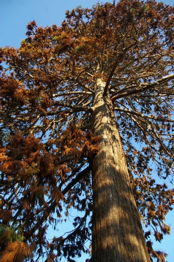 sequoia4.JPG