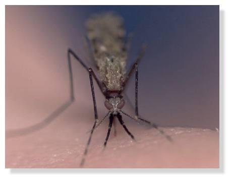 moustique.jpg