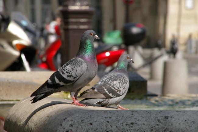 pigeons (2).jpg