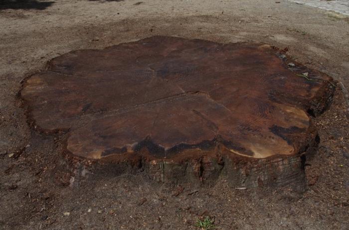sequoia5.JPG