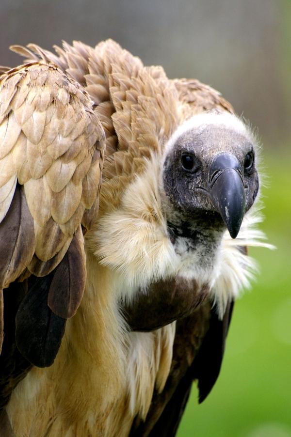 rapaces, vautours