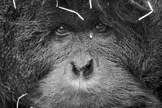 orangoutan.jpg