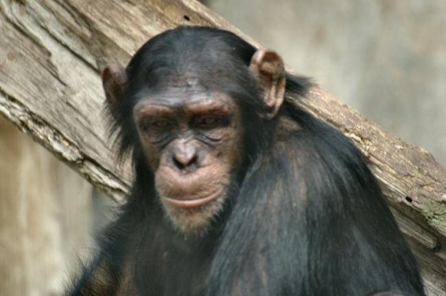chimpanzé3.jpg