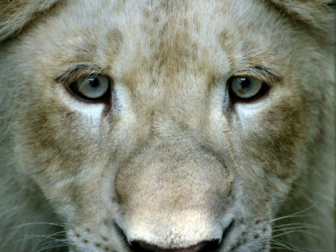 lionblanc1.jpg