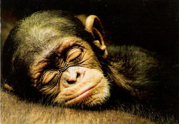 chimpanze1.jpg