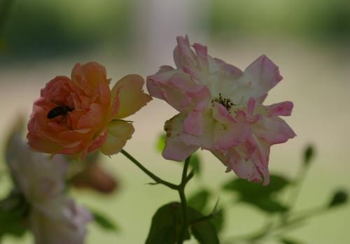 rose44.jpg
