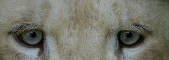 lionblanc1c.jpg